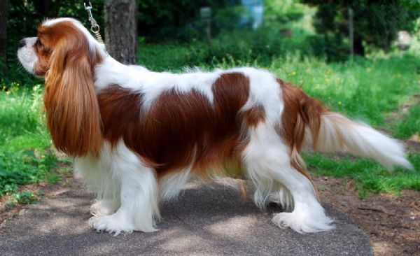 Best Dog Shampoo for Cavalier King Charles